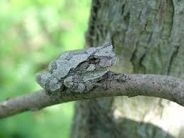 gray treefrog hyla versicolor natureworks