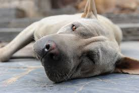Spray Paint Inhalation Treatment Poisoning In Dogs Symptoms Causes Diagnosis Treatment