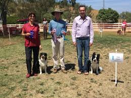 australian shepherd b c brags tri county australian shepherd working association