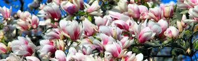 Magnolia Wallpaper by Magnolia Image Gallery 558984094