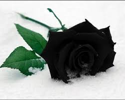 black roses beautiful black roses hd wallpapers flowers hd pictures hd