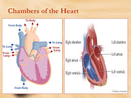 Human Anatomy And Physiology Review Heart Anatomy And Physiology Review