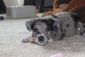 australian shepherd blue heeler new here vet told me my rescue pup is a blue merle australian