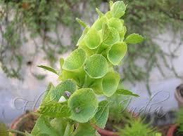 bells of ireland flower moluccella laevis bells of ireland