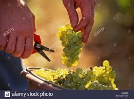 secateur de cuisine view secateurs harvesting chardonnay grapes corton