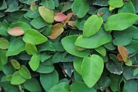 creeping or climbing fig ficus pumila