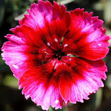 dianthus flower dianthus corona raspberry magic tray of 40 plants