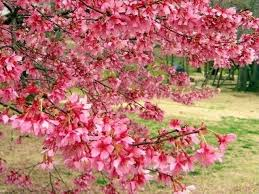 february s prettiest tree okame cherry southern living