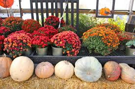 Chesterfield Pumpkin Patch 2015 by Throwing A Pumpkin Carving Party Alexis Zotos