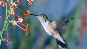 hummingbird wallpaper for pc full hd pictures