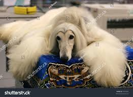 afghan hound white afghan hound stock photo 1891834 shutterstock