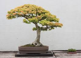bonsai tree store finding the best trees