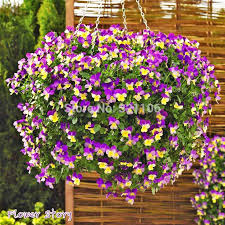 200 horned violet seeds viola cornuta hardy perennial hanging