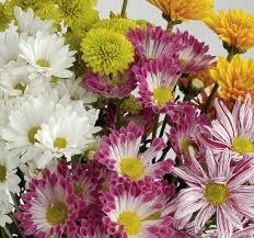 spray mums field of flowers