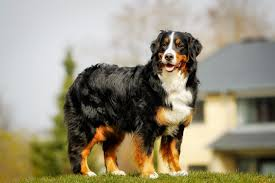 sims 3 australian shepherd bernese mountain dog dogs and puppies for sale in the uk pets4homes