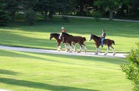 Budweiser Clydesdale Barn Dogs Horses Flowers And A Fire Bree U0027s Mackinac