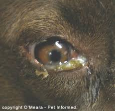 What Causes Blindness In Humans Veterinary Advice Online Canine Distemper Virus