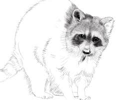 raccoon digital drawing on behance