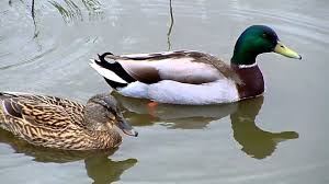mallard ducks uk water birds youtube