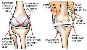 Knee Bony Anatomy Knee Diagrams To Print Diagram Site