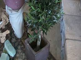cheap bay tree in pot find bay tree in pot deals on line at alibaba