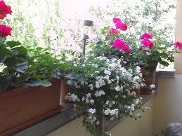 geranien balkon balkonpflanzen im sommer gartenelfe
