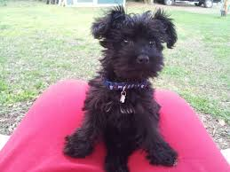 hair accessories for yorkie poos 18 best black yorkie poo images on pinterest cubs yorkie and