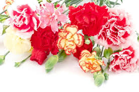 Mothers Day Flowers Why Are Carnations Suitable For Mother U0027s Day Flower Pressflower