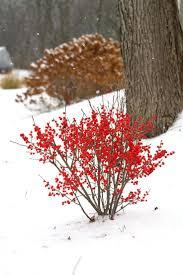 berry poppins winterberry ilex verticillata