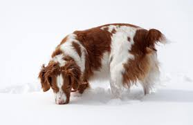 Do Brittany Spaniels Shed a wonderful list of dog breeds that are easy to train