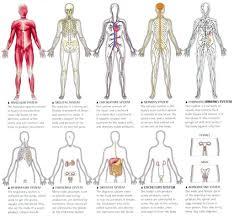 Nervous System Human Anatomy Organ System Human Body