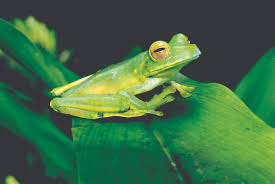 frogs environmental indicators island life magazine