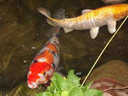 aquaculture fish farming u2013 how to raise koi in your backyard pond