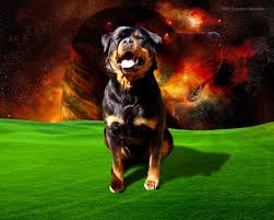 v 281 rottweiler dogs wallpapers hd images of rottweiler dogs