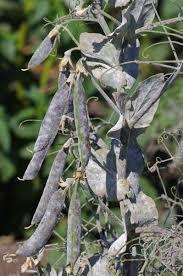 Symptoms Of Viral Diseases In Plants - plant diseases field peas legume matrix
