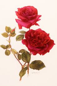 Picture Of Roses Flowers - best 20 rose illustration ideas on pinterest rose design how