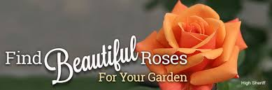 rose growing u0026 care u0027how to u0027 articles deadhead roses