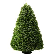 different types of christmas trees with pictures and descriptions
