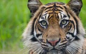 in pictures it u0027s international tiger day greenpeace uk