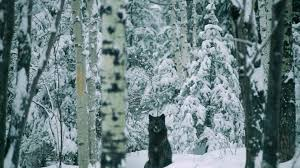 wallpaper u0027s collection wolf in snow wallpapers