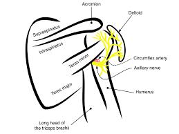 Innervation Of Infraspinatus Axillary Nerve Delt U2014 Highland Em Ultrasound Fueled Pain Management