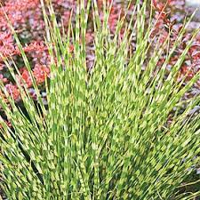 ornamental grasses for sale uk meuwen
