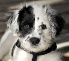 bearded collie and border collie mix 12 unreal border collie cross breeds you have to see to believe