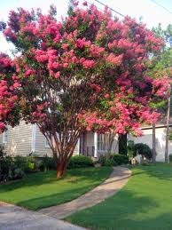 southern crepe myrtle this is a great tree it comes in many