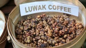 Luwak Coffee kopi luwak or civet coffee bali indonesia stock footage