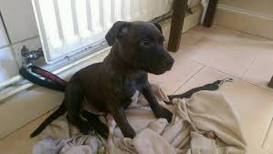 american pitbull terrier gumtree male staffy puppy 12 weeks in stoke on trent staffordshire