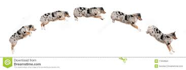 australian shepherd illustration composition of australian shepherd dogs jumping stock photo
