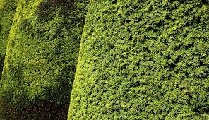 Yew Topiary - free photo hedge topiary yew leaves free image on pixabay