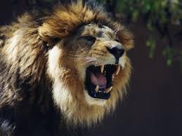 male lion wallpapers lion roar black and white wallpaper
