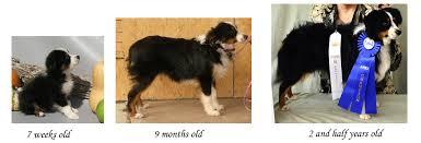australian shepherd size at 5 months puppy uglies